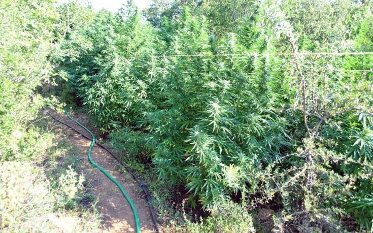 Αστυνομικοί εντόπισαν φυτεία κάνναβης στον Παρνασσό, αλλά δεν βρήκαν τους χασισοκαλλιεργητές pbij77ub