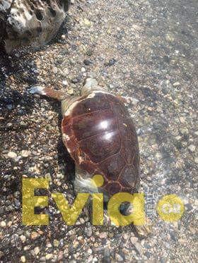 Αλιβέρι Ευβοίας: Βρέθηκε Νεκρή χελώνα Καρέτα Καρέτα