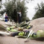 , Χαλκίδα Ευβοίας: Τον έπιασαν στα πράσα να κλέβει τις ελιές, Eviathema.gr   Εύβοια Τοπ Νέα Ειδήσεις