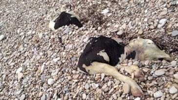 Νεκρή Αγελάδα Χίος