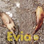 , Στόμιο Κύμης: Νεκρό δελφίνι εντοπίστηκε στην Παραλία [ΦΩΤΟΓΡΑΦΙΕΣ], Eviathema.gr   Εύβοια Τοπ Νέα Ειδήσεις