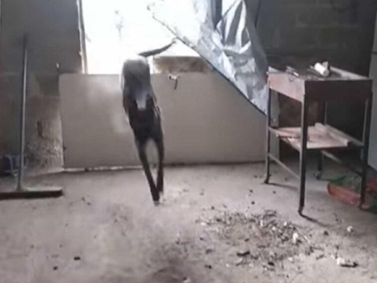 «μύρισε» ποσότητες κάνναβης, Κιλκίς: Ο αστυνομικός σκύλος «Minnie» εν δράσει μέσα σε αποθήκη – Δείτε το βίντεο, Eviathema.gr   Εύβοια Τοπ Νέα Ειδήσεις