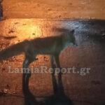 , Κτηνωδία στη Φθιώτιδα: Σκότωσε τη μικρή αλεπού που τάιζαν οι συγχωριανοί του, Eviathema.gr | Εύβοια Τοπ Νέα Ειδήσεις