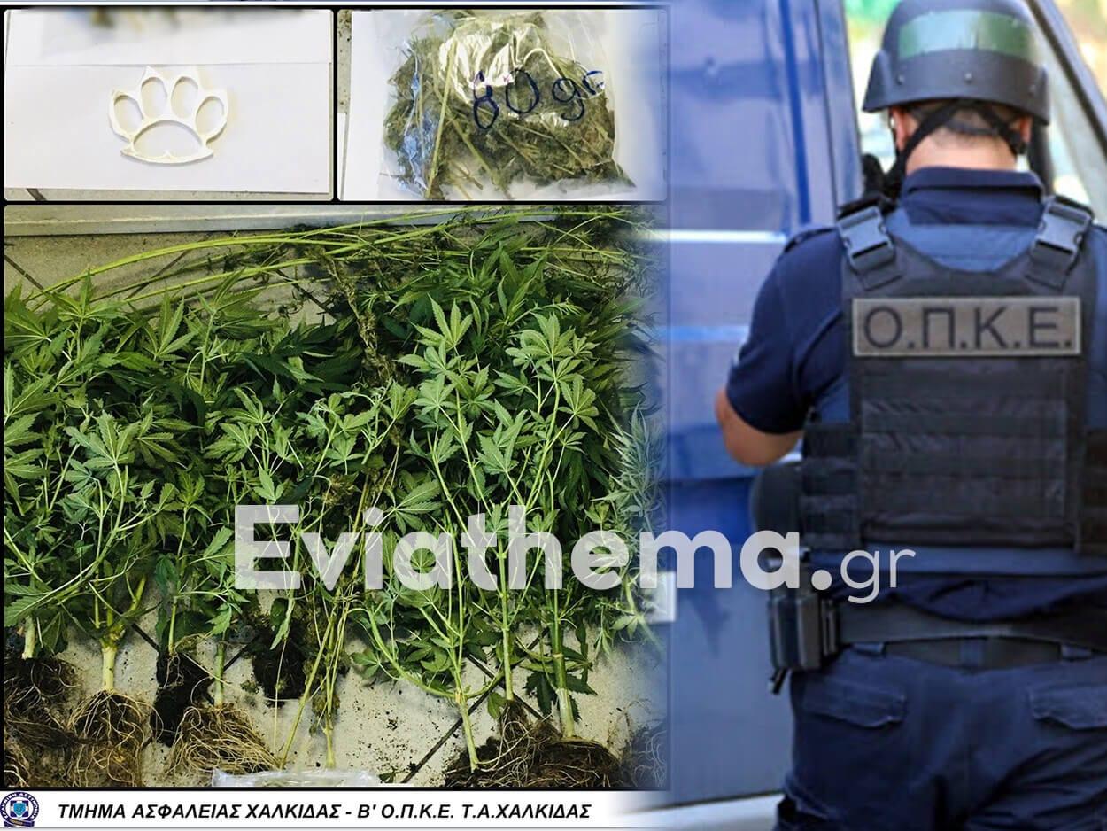 Χαλκίδα Ευβοίας: Συνελήφθη 50χρονος για ναρκωτικά και οπλοκατοχή, Χαλκίδα Ευβοίας: Συνελήφθη 50χρονος για ναρκωτικά και οπλοκατοχή – Δέντρα κάνναβης και σιδερογροθιά εντόπισε ο αστυνομικός σκύλος της Ασφάλειας, Eviathema.gr | Εύβοια Τοπ Νέα Ειδήσεις